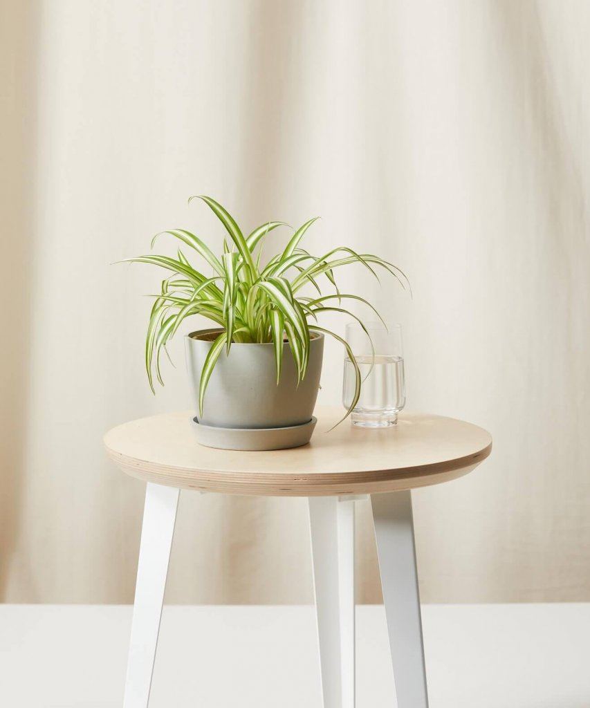 air purifying spider plant to make home office more comfortable