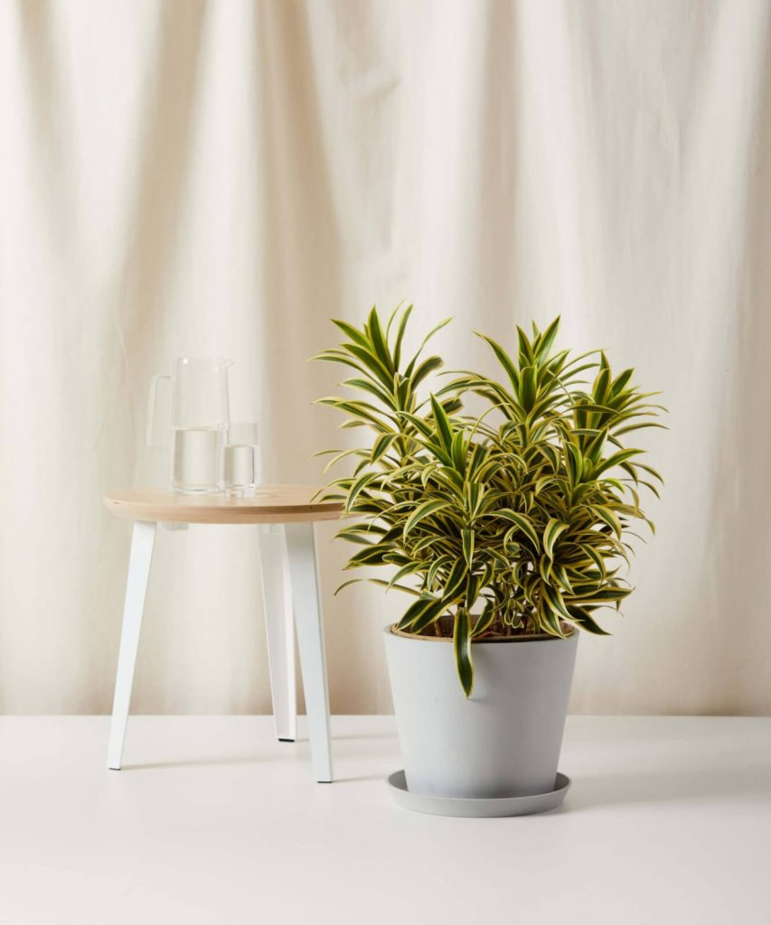 air purifying dracaena plant to make home office more comfortable