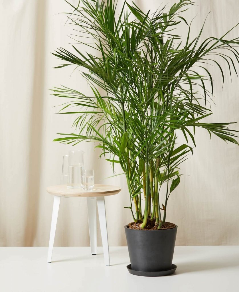 bamboo palm for cozy home office