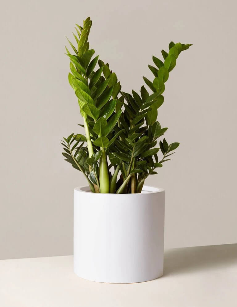 air purifying zz plant to make home office more comfortable